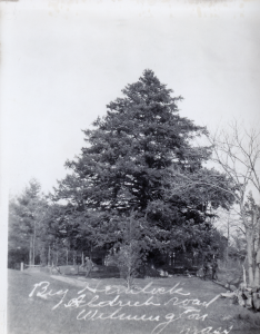 The Jaquith Hemlock off Alrich St was believed to have been the largest in New England. It was cut down in 1953.